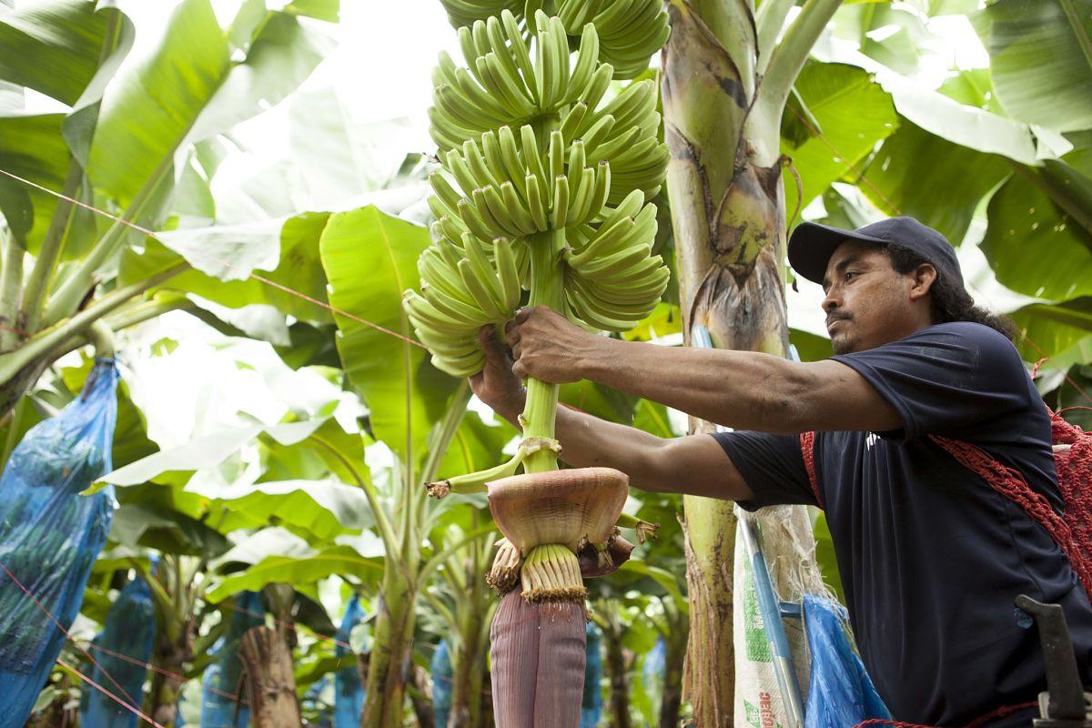 Φάρμα με μπανάνες Chiquita 2